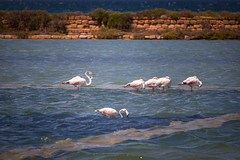 Born to be admired (luigig75) Tags: flamingos fenicotteri marsala sicilia laguna saline canonef70200mmf4lusm 70d