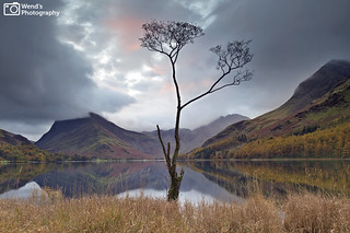 The Buttermere tree at Autumn, Lake District. UK