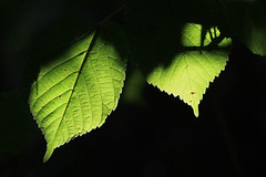 La saison de vivre (Emmanuelle2Aime2Ailes) Tags: macro feuilles lumire ombre vert cmwdgreen