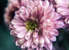 Split Second (SoonerChick14) Tags: mums cy365 fall potd flowers
