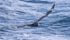 Great Skua #4 (scilly puffin) Tags: great greatskua pelagic sapphirepelagics islesofscilly