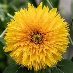 Yellow!!! (pmenge) Tags: denver botanicgarden amarelo yellow flower flor 18135 xt1