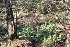 Kingcups through North hedge, Lisvane reservoir, 25/03/05 (Mary Gillham Archive Project) Tags: calthapalustris lisvanereservoir marshmarigold planttree st18958213 wales 2005 25032005 8129