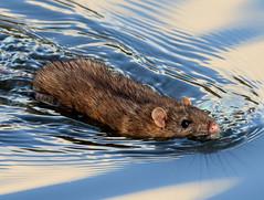 Back for more! (pstone646) Tags: water rat lake nature rodent animal wildlife ashford fauna kent closeup swimming reflection sky