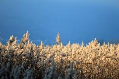 roseau (kevinbellet) Tags: paysage roseaux marais saint jorioz