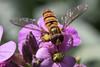 IMG_9026.jpg (TonyJ 3006) Tags: episyrphusbalteatus hoverflies