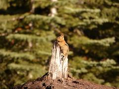P1240246.jpg (NKSwampie) Tags: 19thseptember 2016 california goldenmantledgroundsquirrel september sequoianp wisebirding