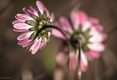 Sweet November (oskaybatur) Tags: flower wildflower 2016 oskaybatur autumn october sonbahar ekim pentaxk3 samyang closeup macro dof bokeh waterdrop bellisperennis