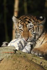 Wer hat hier die Luft rausgelassen? (Noodles Photo) Tags: pantheratigrisaltaica makar arila dasha duisburg zooduisburg sugetier amurtiger sibirischertiger raubtier tigercubs tierkinder tiger groskatze