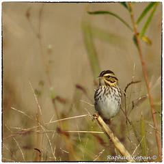 Savannah Sparrow (RKop) Tags: a77mk2 600mmf4apogminolta armlederpark cincinnati ohio raphaelkopanphotography sony