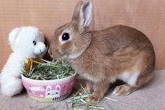 Ichigo san 472 (mensore) Tags:  rabbit bunny netherlanddwarf brown cute pet family ichigo