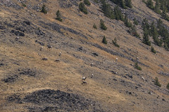 "Bighorn Sheep • <a style=""font-size:0.8em;"" href=""http://www.flickr.com/photos/63501323@N07/30847000412/"" target=""_blank"">View on Flickr</a>"