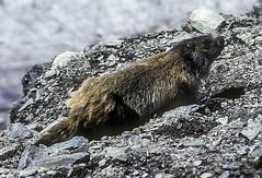 Marmot at Gornergrat (woodchuckiam) Tags: marmot marmota gornergrat alpine mammal fur tail mamal animal speciesmarmota subspecies woodchuckiam
