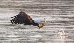 Nice Grab! Explore 11-18-2016 #141 (ThruKurtsLens.com (Kurt Wecker)) Tags: baldeagle eagle fallcolors fish flying kurtwecker nature naturephotographer talons thrukurtslenscom wildlife