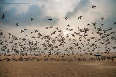 Marina Beach (Saravanan Ekambaram) Tags: chennai madras birds marina marinabeach pigeons beach sunrise