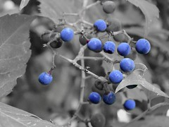 Wild Grapes (Lana Pahl / Country Star Images) Tags: somethingblueonlyblue flickrnature ilovenature fstopnaturelandscapeetc artdreamedetc petalsandfrost