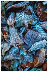 vegetation 4 (Martino Hemmi) Tags: pastell snow forest nature intt color orange frost leaf herbst winter bläter eis schnee kontrast