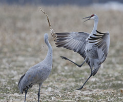Sandhill Crane Dance (dhkaiser) Tags: dan kaiser sandhill crane jackson county