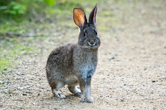 20161125-LRC25302.jpg (ellarsee) Tags: rabbit flickr bunny