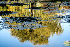 Reflected Willow (San Francisco Gal) Tags: monetsgarden giverny normandy lilypond lilies reflection tree willow water
