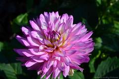 Dahlia (Sandra Kirly Pictures) Tags: dahlia dahlias flower flowers budapest hungary summer outdoor nature