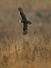 Are my wings big in this? (Chris Bainbridge1) Tags: asioflammeus shortearedowl inflight hunting fens