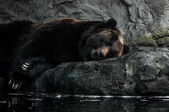 Woodland Park 161205 (jetcitygrom) Tags: nature brown bear woodland park zoo canon 70d mammal carnivore predator