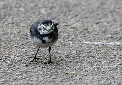 Pied Wagtail (3) (grahamh1651) Tags: helstonboatinglake birds gulls ducks geese waterbirds swans