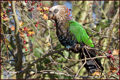 Hawk-headed Parrot (image 1 of 4) (Full Moon Images) Tags: hawk headed parrot hawkheaded bird escapee grafham water reservoir nature reserve