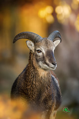 Young Mouflon (Andreas Krappweis - thanks for 2,3 million views!) Tags: mouflon ram winter sunset light bokeh nikond3s tamron150600