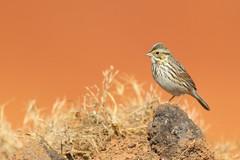 Savannah sparrow (geno k) Tags: savannahsparrow sparrow samsmithpark bartowcounty georgia 11252016