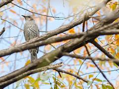 161211_GX7_1450979 (kuad9) Tags: bird
