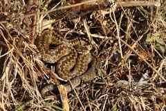 Winter Adder (Vipera berus) (Sky and Yak) Tags: dorset reptilesandamphibians reptile snake serpent herpetology nature naturalworld adder viper vipera berus viperaberus basking bask december