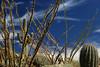 Ocotillos:  Changing Color (jswensen2012) Tags: arizona saguarocactus cactus ocotillo sonorandesert saguaronationalpark