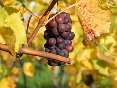 Rotwein im Urzustand (*Tom68*) Tags: wein trauben rotwein frankenwein mainfranken