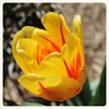 Antietam NB ~ vibrant Tulip (karma (Karen)) Tags: flowers texture dof tulips bokeh maryland brightcolors antietam macros squared nbp sharpsburg 4spring hbw usparks cmwdyellow bokehwednesdays