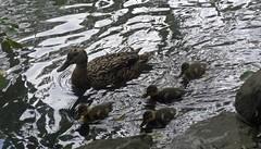 West End Chicks (Bricheno) Tags: park festival scotland pond glasgow ducks ducklings escocia westend szkocja kelvingrove mallards schottland kelvingrovepark 2014 scozia cosse  esccia   scoia