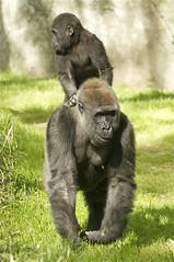 hitchin' a ride (ucumari photography) Tags: animal mammal zoo nc gorilla north western carolina april lowland 2014 specanimal specanimalphotooftheday ucumariphotography dsc9794