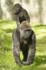 hitchin' a ride (ucumari photography) Tags: animal mammal zoo nc gorilla north western carolina april lowland 2014 specanimal specanimalphotooftheday ucumariphotography dsc9794