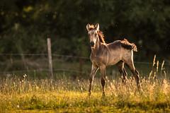 Next generation. (lilian.lemonnier) Tags: horse mammals mammalia equidae equuscaballus perissodactyla mammifres equids prissodactyles chevaldomestique