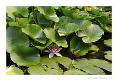 Waterlelie (Ankie Rusticus, I'm not much here) Tags: flowers nature natuur bloemen bloem waterlelie