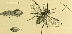 Anglų lietuvių žodynas. Žodis linosyris vulgaris reiškia <li>linosyris vulgaris</li> lietuviškai.