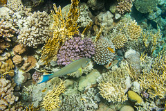 Cay (Sergey Mikushev) Tags: ocean life red sea fish nature water beautiful coral swim flora colorful underwater bright bottom dive salt egypt sharmelsheikh diving rope exotic algae reef cay cradle coralreef
