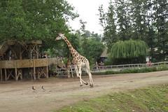 girafe (angoranoir) Tags: girafe