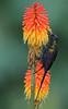 Bronze Sunbird (Rainbirder) Tags: kenya kakamega bronzesunbird nectariniakilimensis rainbirder