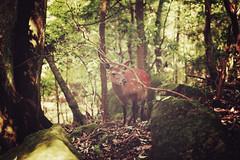 Miyajima + Mount Misen + Deer | Japan, July 2014 (Sebastien BERTRAND) Tags: japan canon wildlife streetphotography deer streetphoto japon  biche misen photoderue myajima mountmisen viesauvage eos40d canon40d montmisen fotomato sebfotomato sbastienbertrand sebastienbertrand