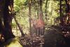 宮島 Miyajima + Mount Misen + Deer | Japan, July 2014 (Sebastien BERTRAND) Tags: japan canon wildlife streetphotography deer streetphoto japon 宮島 biche misen photoderue myajima mountmisen viesauvage eos40d canon40d montmisen fotomato sebfotomato sébastienbertrand sebastienbertrand