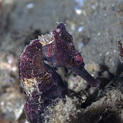 Red Seahorse & Pacificklaus News
