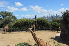 Day at Taronga Zoo (*~YY~*) Tags: australia nsw newsouthwales giraffe taronga tarongazoo mosman