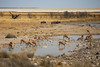 Springbok and wildebeest, Etosha NP, Namibia (Lovely*Pic*Nic) Tags: park national namibia etosha springbok wildebeest springboks namibie gnou